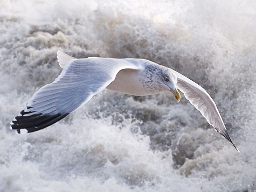 "Photograph of a Seagull riding the wind over the waves by Hastings Photographer Jon ""Huldrick' Wilhelm."